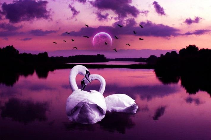 swans fanpop com 2