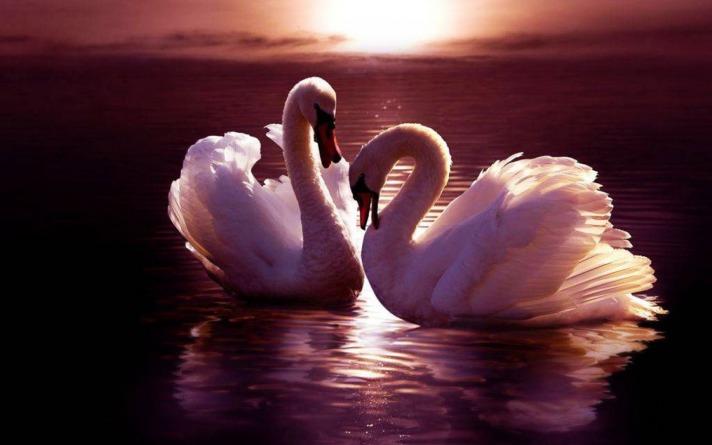 swans fanpop com