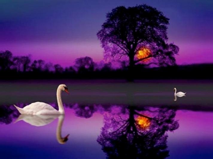 swans naturedesktopnexus com