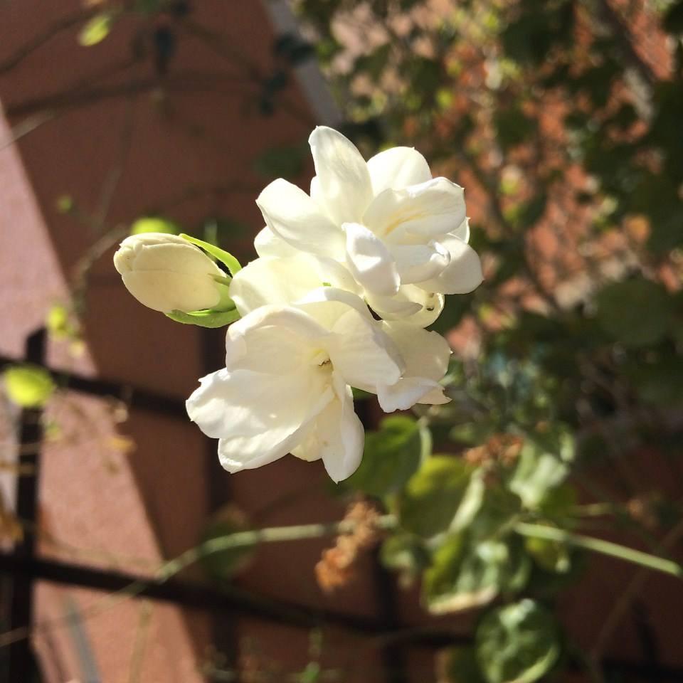 vast jasmine