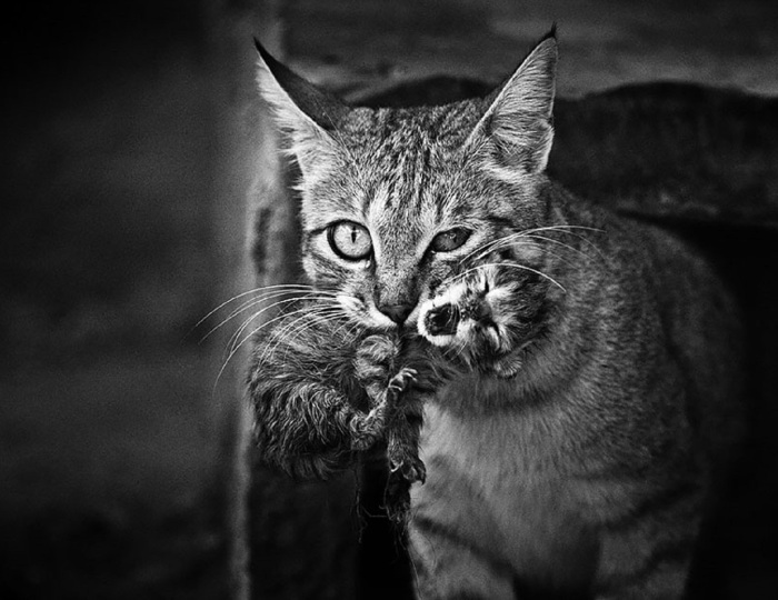 BnW bored panda com cat-looking-at-you-black-and-white-photography-103